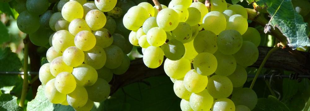 Weingut Borntaler Hof - reife Weißwein Trauben